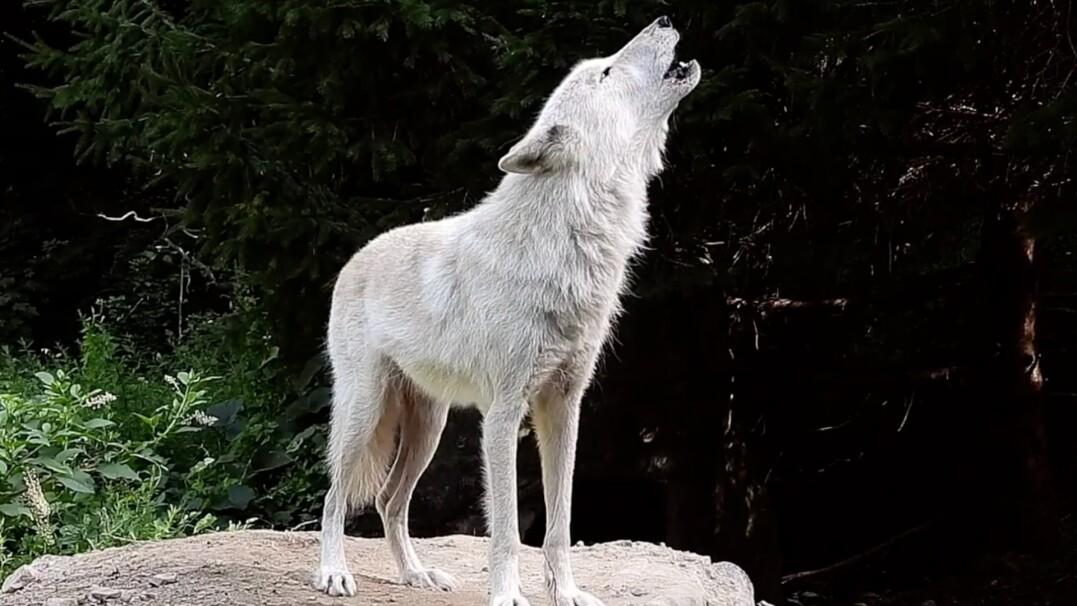 Zawył jeden wilk, po chwili wyła już cała wataha. Na nagraniu słychać ponad 40 osobników