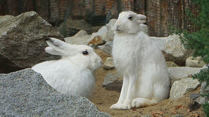 Zające bielaki zamieszkały we Wrocławiu. Są zagrożone wyginięciem