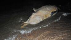 Martwy wieloryb na bałtyckiej plaży
