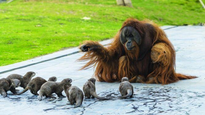 Rodzina orangutanów i jej przyjaciółki wyderki. Zobaczcie tę niezwykłą więź