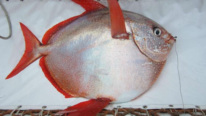 Odkryto pierwszą stałocieplną rybę